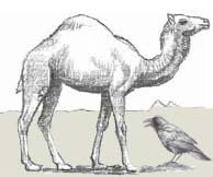 camel-raven-sketch_s